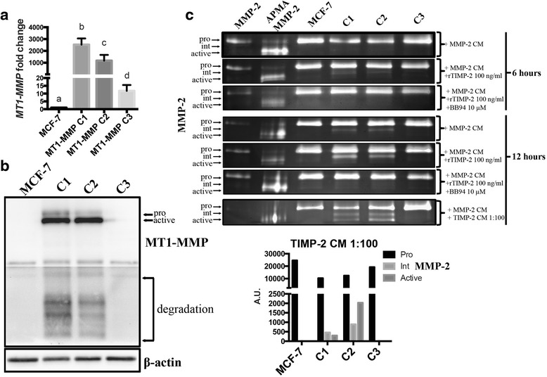 MCF-7 cell lines producing high levels of MT1-MMP protein demonstrated TIMP-2-mediated proMMP-2 activation ( a ) qPCR analysis of MT1-MMP mRNA from MCF-7 MT1-MMP cells lines that stably express different levels of MT1-MMP. Different letters indicate significant differences at p ≤ 0.05 by one-way ANOVA, Tukey's post-hoc test. b Immunoblot analysis (AB51074) showing pro-, active, and degradation forms of MT1-MMP protein in MCF-7 MT1-MMP cell lines. β-actin was used as a loading control. c Gelatin zymography analysis of MCF-7 MT1-MMP cell lines incubated for 6 or 12 h with either MMP-2 CM alone, or in combination with rTIMP-2 at 100 ng/ml, or rTIMP-2 and BB94 (10 μm). Cells were also incubated for 12 h in MMP-2 CM supplemented with TIMP-2 CM diluted 1:100 in SF media ( bottom ). Bar graph shows densitometry quantification of MMP-2 isoforms from representative zymography of MCF-7 MT1-MMP cell lines incubated with MMP-2 CM and TIMP-2 CM diluted 1:100