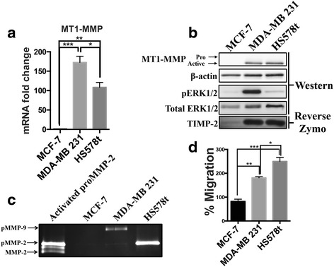 MT1-MMP expression does not correlate with increased migratory potential of breast cancer cells. a qPCR analysis of MT1-MMP mRNA levels from MCF-7, MDA-MB 231, and HS578t breast cancer cells. b Immunoblot (AB51074) and reverse zymography analysis comparing MT1-MMP, phospho-ERK and TIMP-2 protein levels between MCF-7, MDA-MB 231, and HS578t breast cancer cells. β-actin and total ERK1/2 were used as loading controls. c Gelatin zymography analysis of MCF-7, MDA-MB 231, and HS578t breast cancer cells incubated in SF media for 12 h. Lane 1 shows proMMP-2 CM activated by MCF-7 C2 cells treated with TIMP-2 CM diluted 1:100 to show proMMP-2 activation as a result of TIMP-2/MT1-MMP. d Transwell migration assay of MCF-7, MDA-MB 231, and HS578t breast cancer cells incubated in SF media for 24 h