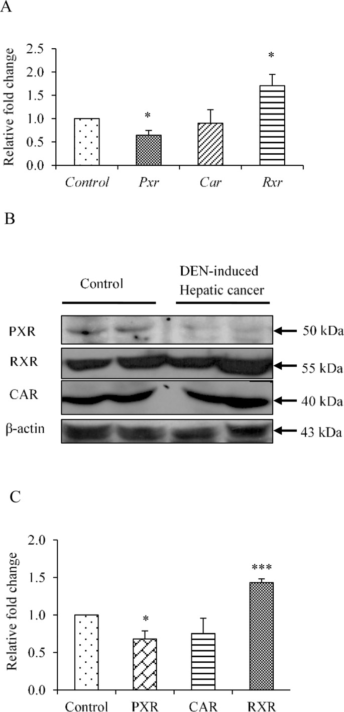 Assessment of expression levels of nuclear receptor PXR, CAR and RXR-α in DEN-induced hepatic cancer. A. Real-time PCR analysis was performed for PXR, CAR and RXR-α genes with the total RNA extracted from mouse liver tissues of saline-treated control and DEN-induced hepatic cancer mice. GAPDH served as an internal control. B. Cell lysate of control and hepatic cancerous mice liver tissues were electrophoresed (50 μg per sample) on a 10% SDS-PAGE. The proteins were transferred onto the methanol-activated PVDF membrane and probed with anti-mouse PXR antibody, anti-mouse CAR antibody and anti-mouse RXR-α antibody. β-Actin antibody served as control; C. The relative endogenous protein expression levels of PXR, CAR and RXR-α in control and DEN-induced hepatic cancer were quantified by densitometry. The experiments were performed with six samples of each control and DEN-induced cancerous mice. The values are represented the mean ±SE. The P-value represents the significance in DEN-induced hepatic cancer mice as compared to the control mice. P-value