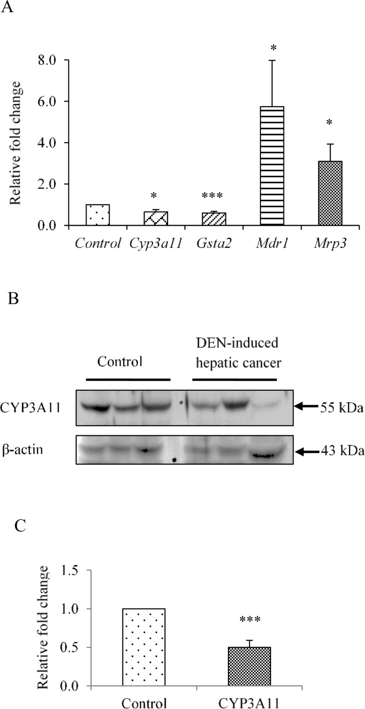 Altered expression of PXR-regulated genes in DEN-induced hepatic cancer. A. Total RNA was extracted from mouse liver tissues of saline-treated control and DEN-induced hepatic cancer mice. Real-time PCR analysis was performed for Cyp3A11 , Gsta2 and Mrp3 . For Mdr1 semi-quantitative PCR was performed. GAPDH served as an internal control. B. Cell lysates of control and hepatic cancerous mice liver tissues were electrophoresed (50 μg per sample) on a 10% SDS-PAGE. The proteins were transferred onto the methanol-activated PVDF membrane and probed with anti-mouse Cyp3a11 antibody (upper panel). β-Actin antibody served as control (lower panel); C. The relative endogenous Cyp3a11 protein expression in control and DEN-induced hepatic cancer was quantified by densitometry. The experiments were performed with six samples of each control and DEN-induced cancerous mice, and the values are represented as the mean ±SE. The P-value represents the significance in DEN-induced hepatic cancer mice as compared to the control mice. The P-value