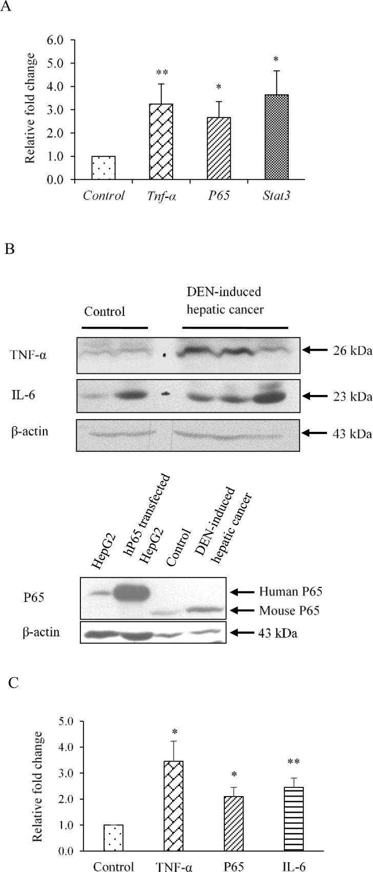 Levels of inflammatory proteins are enhanced in DEN-induced hepatic cancer. A. Real-time PCR analysis was performed for Tnf-α , p65 , and Stat3 with total RNA extracted from mouse liver tissues of saline-treated control and DEN-induced hepatic cancer mice. GAPDH served as an internal control. B. Cell extracts of control and DEN-induced hepatic cancerous mice liver tissues were electrophoresed (50 μg per sample) on a 10% SDS-PAGE. The proteins were transferred onto the methanol-activated PVDF membrane and probed with anti-mouse TNF-α, anti-mouse P65, and anti-mouse IL-6 antibody. Bands of human and mouse P65 were detected at 65 KDa and 60 KDa respectively. β-Actin antibody served as control; C. The relative endogenous TNF-α, P65 and IL-6 protein expressions in control and DEN-induced hepatic cancer were quantified by densitometry. The experiments were performed with seven samples of each control and DEN-induced cancerous mice, and the values are represented as the mean ±SE. The P-value represents the significance in DEN-induced hepatic cancer mice as compared to the control mice. P-value