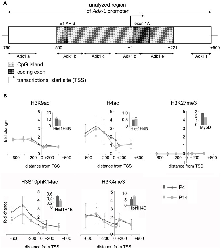 Impact of epigenetic chromatin modifications on Adk-L promoter activity in P4 and P14 rat hippocampal neurons. (A) Promoter region of the long Adk isoform was analyzed from pos. −735 to + 470 relative to the TSS. (B) Activating histone modifications were identified at the Adk-L promoter in both P4 and P14 hippocampal neurons, including acetylation of H3 and H4, as well as H3 phosphoacetylation and lysine 4 trimethylation, with a relative sparing of the TSS. There was no evidence for repressive H3K27 trimethylation. Upper right corner of each diagram with insets showing enrichment of positive controls for each antibody presented as percent of the total input chromatin (% input). Adk-L promoter, promoter regulating long Adk isoform expression; ChIP, chromatin immunoprecipitation; H3K9ac, acetylation of lysine (K) 9 of histone H3; H4ac, pan-acetylation of histone H4; H3S10phK14ac, phosphoacetylation of histone H3 targeting Serine (S) 10 and Lysine (K) 14; H3K4me3, trimethylation of lysine (K) 4 of histone H3; H3K27me3, trimethylation of lysine (K) 27 of histone H3; TSS, transcriptional start site.