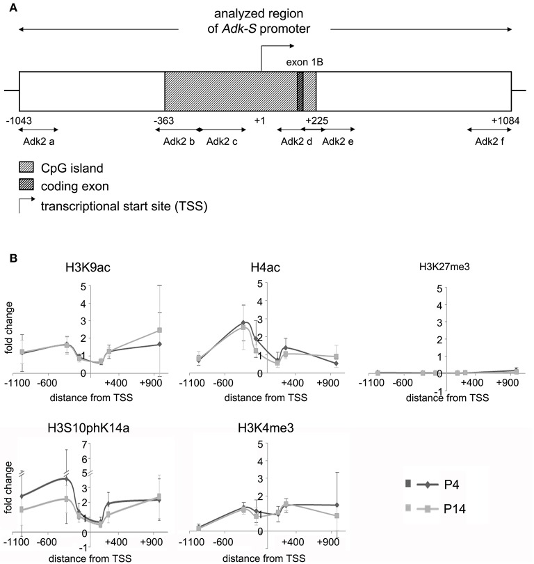 Impact of epigenetic chromatin modifications on Adk-S promoter activity in P4 and P14 rat hippocampal neurons. (A) Promoter region of the short Adk isoform was analyzed from pos. −1043 to +1084 relative to the TSS. (B) Enrichment of activating histone modifications at the Adk-S promoter in both P4 and P14 hippocampal neurons, including acetylation of H3 and H4, as well as H3 phosphoacetylation and lysine 4 trimethylation, particularly upstream of the TSS was identified. No evidence for repressive H3K27 trimethylation. Adk-S promoter, promoter regulating short Adk isoform expression; ChIP, chromatin immunoprecipitation; H3K9ac, acetylation of lysine (K) 9 of histone H3; H4ac, pan-acetylation of histone H4; H3S10phK14ac, phosphoacetylation of histone H3 targeting Serine (S) 10 and Lysine (K) 14; H3K4me3, trimethylation of lysine (K) 4 of histone H3; H3K27me3, trimethylation of lysine (K) 27 of histone H3; Hist1H4B, Histone cluster 1, H4B; MyoD, Myogenic differentiation 1; TSS, transcriptional start site.