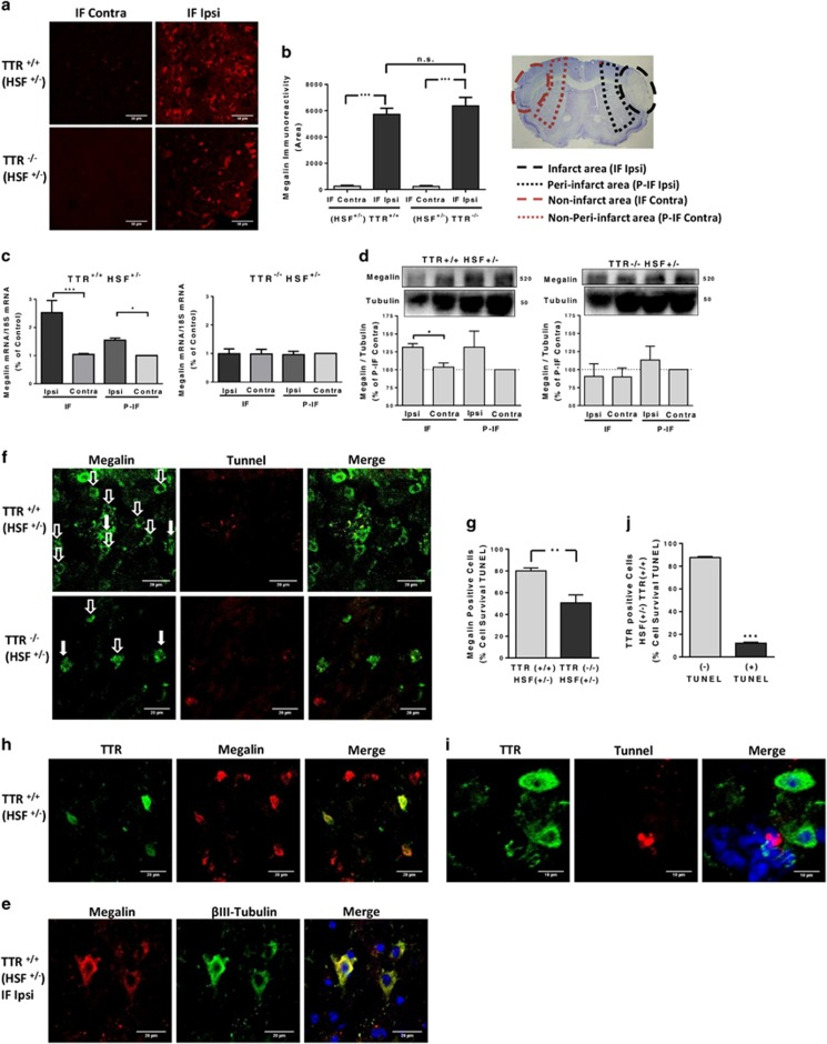 TTR neuroprotection in vivo (pMCAO) is also megalin-dependent. ( a ) Megalin levels after pMCAO were accessed by immunofluorescence confocal stacks of the different brain areas of wild-type and TTR KO mice (HSF+/− background) after 24 h of pMCAO. Representative immunofluorescence confocal stack of megalin in infarct area (IF Ipsi) and contralateral area (IF Contra) (scale bar 50 μ m). ( b ) The semi-quantification results are the average±S.E.M. of three to five stacks/animal (three animals for each phenotype). ( c ) Megalin mRNA levels were quantified for the different brain areas (IF Contra versus IF Ipsi; P-IF Contra versus P-IF Ipsi) of the 24 h pMCAO WT and TTR KO mice (HSF+/− background). The results are the average±S.E.M. of three to four different animals for each phenotype. ( d ) Megalin protein levels were quantified for the different brain areas (IF Contra versus IF Ipsi) of the 24 h pMCAO WT and TTR KO mice (HSF+/− background). The results are the average±S.E.M. of three different animals for each phenotype. ( e ) Representative images of megalin immunofluorescence confocal stacks of live cells co-localizing with β III-tubulin from the infarct area of WT mice (HSF+/− background) after 24 h pMCAO (three animals). ( f and g ) Semi-quantification of the cell survival accessed with TUNEL reaction assay from the megalin-positive cells in the infarct area of TTR KO and WT mice (HSF+/− background) after 24 h pMCAO. The results are the average±S.E.M. of five to six stacks from three animals for each phenotype ( f , representative image; g ). ( h ) Representative immunofluorescence confocal stack of TTR-positive live cells co-localizing with megalin, from the infarct area of WT mice (HSF+/− background), after 24 h pMCAO (three animals). ( i and j ) Semi-quantification of the cell survival from the TTR-positive cells in the infarct area of WT mice (HSF+/− background) after 24 h pMCAO. Cell survival was accessed with TUNEL reaction assay. The results are the average