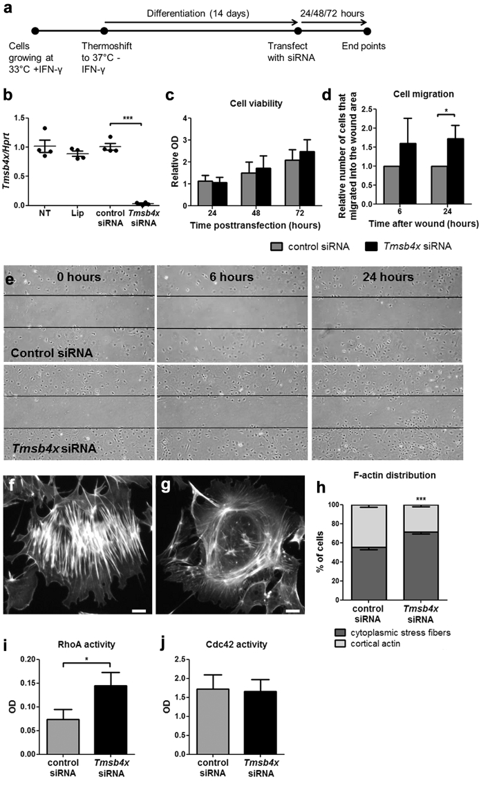 Effects of downregulating endogenous Tmsb4x expression in podocytes in vitro . ( a ) Podocytes grown in vitro under permissive conditions were differentiated for 14 days before transfecting them with control siRNA or siRNA targeting Tmsb4x . ( b ) Quantification of Tmsb4x mRNA levels in podocytes 48 hours after transfection. ( c ) Cell viability after knockdown of endogenous Tmsb4x was assessed by MTT assay. ( d ) Podocyte migration after knockdown of endogenous Tmsb4x was assessed by a wound-healing assay, and the number of cells that migrated into the wound area was counted. ( e ) Representative images of podocytes transfected with control or Tmsb4x siRNA 0, 6, and 24 hours after wound formation. Representative images showing a podocyte with cytoplasmic stress fiber F-actin distribution ( f ) or cortical F-actin distribution ( g ). The percentage of cells with predominantly cytoplasmic stress fibers or cortical actin formation was quantified 48 hours after transfection ( h ). Quantification of active RhoA ( i ) and active Cdc42 ( j ) 48 hours after transfection. All experiments were repeated 3 to 4 times, and the data are presented as mean ± SEM. * P ≤ 0.05, *** P ≤ 0.001. IFN-γ, interferon-γ; Lip, lipofectamine; OD, optical density; siRNA, small, interfering RNA; TB, Tmsb4x, thymosin β 4 .