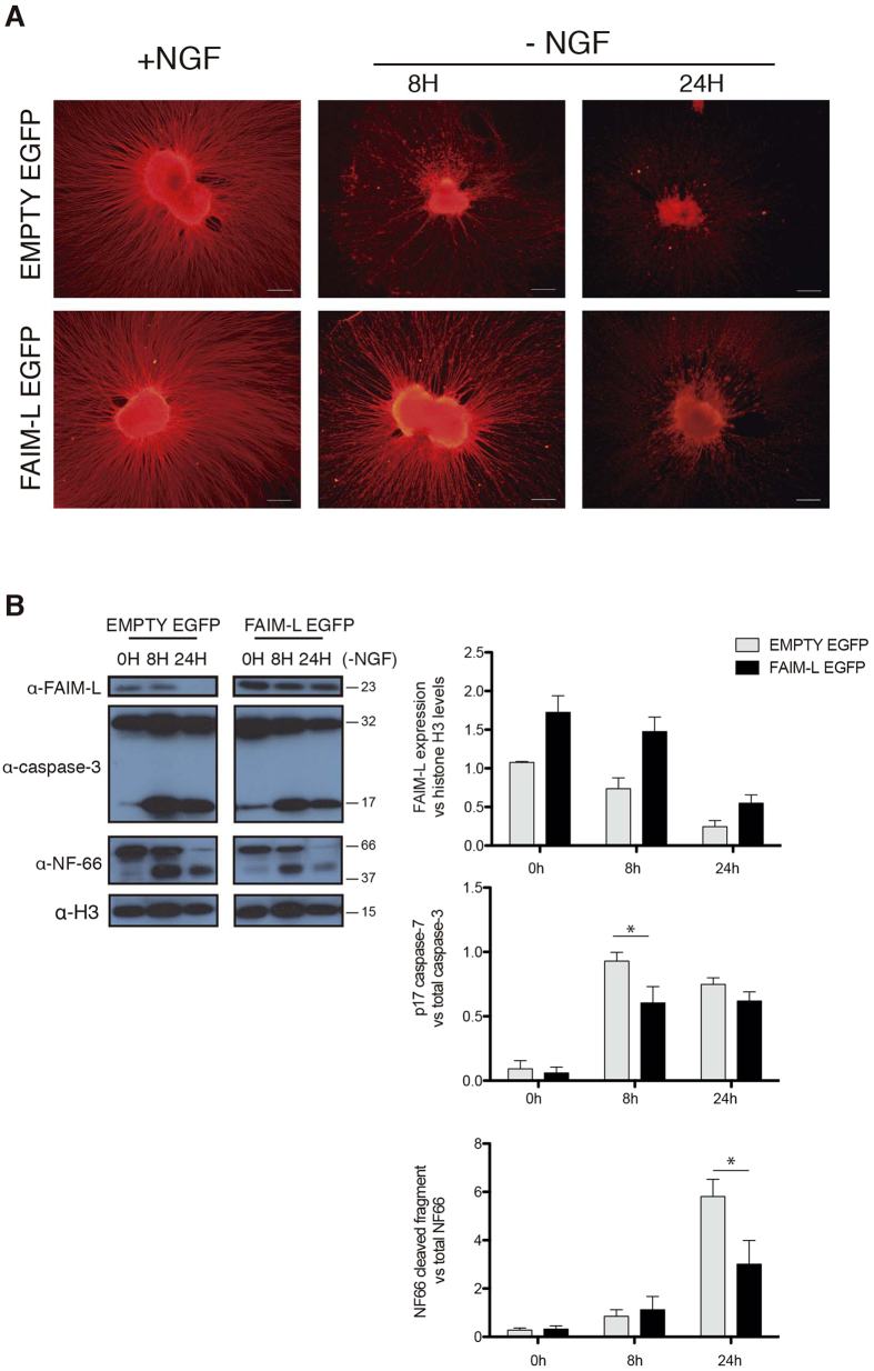 FAIM-L is downregulated in NGF-deprived DRGs and its overexpression impairs axonal DRG degeneration induced by NGF withdrawal. DRG explants were plated in presence of lentiviral vectors carrying EMPTY-EGFP or FAIM-L-EGFP constructs. At DIV 2, DRG explants were subjected to NGF withdrawal. ( A ) at indicated times axonal integrity was assessed by immunocytochemistry against βIII-Tubulin. Representative pictures for EMPT-EGFP- and FAIM-L-EGFP-infected DRGs are shown. Scale bar 200 μm. ( B ) FAIM-L expression, caspase-3 activation, and NF-66 degradation were assessed by Western blot. Histograms show FAIM-L, caspase-3 p17 fragment, and NF-66 cleaved fragment relative levels quantification to Histone H3, total caspase-3 and total NF-66, respectively, from three independent experiments in the indicated conditions. Data are represented as the mean ± standard error of the mean (SEM). Two-way ANOVA test followed by Bonferroni post-hoc test was used to calculate significant levels between the indicated groups. *p