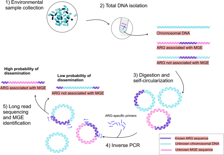 Protocol for using IPCR to evaluate the horizontal gene transfer potential of ARGs in the environment. After sample collection (1) and total DNA extraction (2), the DNA is digested with restriction enzymes and resulting fragments are self-ligated into circular DNA molecules (3). DNA flanking the ARG is amplified with IPCR using ARG targeting primers (4). The amplicons are sequenced using long read sequencing with PacBio SMRT cell technology and the ARG associated MGEs are identified (5).