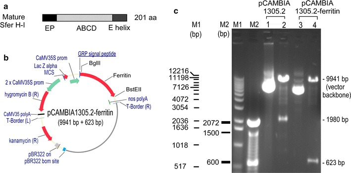 Construct for expressing soybean ferritin extracellularly in <t>Arabidopsis</t> . a Mature form of soybean ferritin H-1 (Sfer H-I) was used for gene synthesis. EP: the sequence encoding extension peptide; ABCD and E, the sequences corresponding to the A to E helixes of mature ferritin. b Vector pCAMBIA1305.2 was developed by pCAMBIA ( http://www.cambia.org ), which has a glycine-rich protein (GRP) signal peptide for extracellular targeting. For expression construct, the catalase intron-GusPlus gene cassette in above vector was replaced by the ferritin gene; nopaline synthase (nos) polyA was the terminator. c Confirmation of construct pCAMBIA1305.2-ferritin by restriction enzyme digestion. Lanes 1 and 2 , uncut and <t>BglII-BstEII</t> cut empty vector (1305.2), respectively; the latter was digested into two bands, including the 1980 bp GUSplus gene. Lanes 3 and 4 , uncut and BglII-BstEII cut construct (pCAMBIA1305.2-ferritin), respectively; the latter was digested into two bands, including the 623 bp ferritin gene