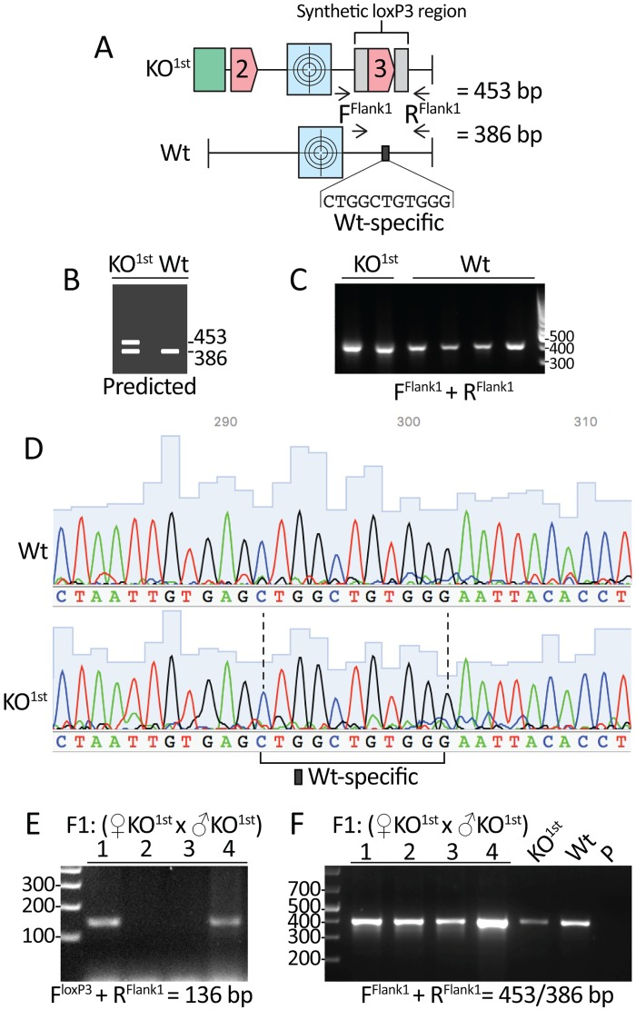 Failure to amplify templates containing the synthetic loxP3 region using flanking primers. A. Primers targeting Wt sequences upstream (F Flank1 ) and downstream (R Flank1 ) of the synthetic loxP3 region were predicted to amplify a PCR product of 453 bp from the KO 1st construct and 386 bp from Wt sequences. The 80 bp synthetic loxP3 region replaces eleven Wt-specific bps; therefore, this represents a unique identifier for amplicons derived from Wt alleles. B. PCR with these primers is predicted to produce 453 bp and 386 bp products from KO 1st chimeras and a single 386 bp product from Wt samples. C. A single product is amplified from KO 1st chimeras and Wt mice samples using the F Flank1 with R Flank1 primers. PCR was performed with an annealing temperature of 56°C and products were separated on a 1% agarose gel containing GelRed stain. D. Sanger sequencing of the PCR products from C confirms that only amplicons containing the Wt-specific identifier were produced. E. PCR with F loxP3 and R Flank1 primers using DNA isolated from four F1 progeny (derived from crossing male and female KO 1st chimeras) identified two individuals as positive for the KO 1st template. F . PCR with F Flank1 with R Flank1 primers failed to distinguish the KO 1st positive F1 progeny from Wt samples. PCR was performed with an annealing temperature of 60°C and products were separated on a 2.5% agarose gel containing GelRed stain. The two KO 1st lanes in C represent PCR products derived from the same two distinct KO 1st chimeric mice presented in Fig 1 . The Wt and KO 1st chimera DNA samples in F are isolated from brain tissue; these samples are also used in Fig 3 . Abbreviations : KO 1st : Knockout first chimera, F1: Filial hybrid 1, P: Primers only.