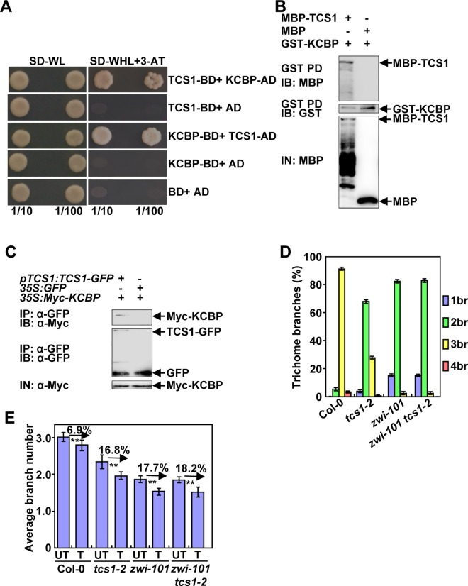 TCS1 physically and genetically interacts with KCBP to control the number of trichome branches. (A) TCS1 interacts with KCBP in yeast cells. (B) TCS1 physically interacts with KCBP in vitro . MBP-TCS1 was pulled down (PD) by GST-KCBP immobilized on Glutathione Sepharose 4B and analyzed by immunoblotting (IB) using an anti-MBP antibody. MBP was used as a negative control. (C) TCS1 interacts with KCBP in vivo . Total proteins from pTCS1 : TCS1-GFP;35SMyc-KCBP and 35S : GFP; 35SMyc-KCBP plants were immunoprecipitated with GFP-Trap-A (IP), and the immunoblots (IB) were probed with anti-GFP and anti-Myc antibodies, respectively. Myc-KCBP was detected in the immunoprecipitated TCS1-GFP complex. (D) Trichome branch (br) distribution of Col-0, tcs1-2 , zwi-101 and zwi-101 tcs1-2 first pair of leaves at 15 days after germination (DAG). Values are given as mean ± SE. (E) The average number of Col-0, tcs1-2 , zwi-101 , zwi-101 tcs1-2 trichome branches treated with (T) or without (UT) 20 μM oryzalin for 2 hours. The branch number of Col-0, tcs1-2 , zwi-101 , zwi-101 tcs1-2 trichomes was examined after a 10-day recovery on ½ MS medium.