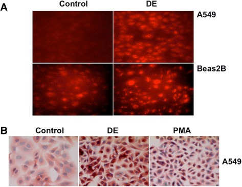 Dust extracts induce intracellular reactive oxygen species levels. a A549 and Beas2B cells grown on coverslips were incubated with 10 μM dihydroethidium for 1 h in the dark in serum-free medium and then exposed to medium alone (Control) or medium containing dust extract (1 %) (DE) for 10 min. After exposure, slides were viewed under a fluorescent microscope equipped with an Ultra-VIEW LCI scanning confocal system using 488 nm excitation and 568 nm emission filters. Fluorescent images are representative of three independent experiments. Red color indicates intracellular ROS production. b A549 cells grown on coverslips were treated with medium alone (Control), dust extract (DE) (1 %) or phorbol myristate acetate (PMA) (10 nM) for 1 h under serum-free conditions. Afterwards, hydroxynonenal conjugated proteins were visualized by immunostaining. Images shown are representative of two independent experiments. PMA was used as a positive control for the generation of intracellular reactive oxygen species (ROS). Magnification, 40×