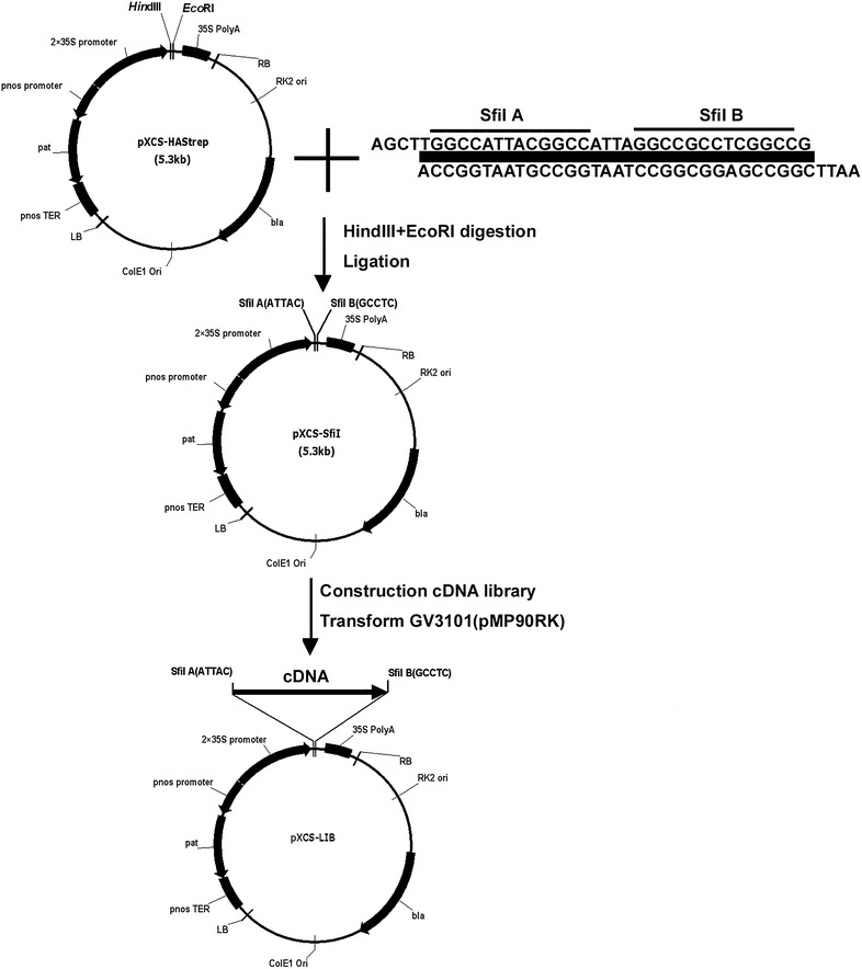 The construction of expressible full-length cDNA library. A adapter with Sfi l A and Sfi l B restrictive sites was introduced into pXCS-HAStrep to generate binary vector pXCS-lib, which was fully compatible with Clontech Creator SMART cDNA Library Construction Kit. Then the full-length cDNA library was constructed in this vector