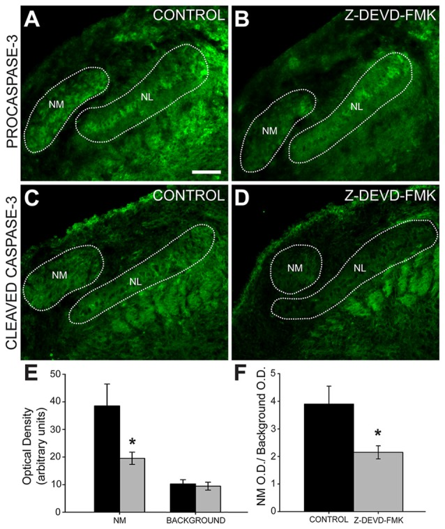 Cleaved caspase-3 expression is reduced in Z-DEVD-FMK injected animals. (A) NM cell bodies, NL cell bodies, NL dendrites and cells in the glial margin express procaspase-3 in control embryos and (B) Z-DEVD-FMK injected embryos. (C) In tissue from control animals, cleaved caspase-3 is expressed in NM and in NL dendrites. (D) In tissue from embryos that received injections of Z-DEVD-FMK into the IVth ventricle, cleaved caspase-3 expression was reduced. (E) While background optical density values did not differ, values in NM were significantly lower in treated vs. control embryos (* p