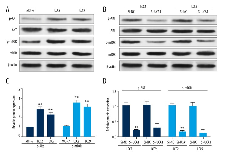 UCA1 activates mTOR signaling pathway in breast cancer cells. ( A–D ) Western blot analysis images ( A, B ) and quantitation of the relative gray scale ( C, D ) of the expression of p-AKT and p-mTOR in MCF-7, LCC2 and LCC9 cells ( A, C ) and in LCC2 and LCC9 cells with or without transfection of UCA1 siRNA ( B, D ). ** p
