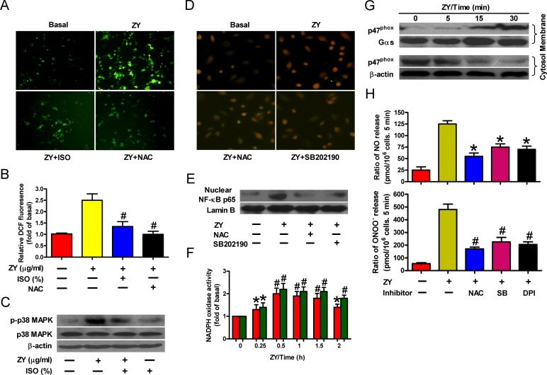 Isoflurane and zymosan regulate NF-κB activation via ROS/p38 MAPK signaling A. , B. Neutrophils were sequentially treated with zymosan (10 μg/ml) for 15 min, 0.7% isoflurane for 15 min where indicated, and zymosan for 6 h in the presence or absence of NAC (50 mM). Cells were subjected to fluorescence measurement of H 2 O 2 levels (A) and Western blot analysis (B). Scale bar = 10 μM. C. , D. Neutrophils were treated with zymosan for 6 h in the presence of the p38 MAPK inhibitor SB202190 (10 mM) where indicated, followed by immunofluorescent staining of p65 (C) and Western blot analysis of nuclear p65 levels (D). Scale bar = 10 μM. E. , F. Neutrophils were treated with zymosan for indicated time periods, followed by measurement of NADPH oxidase activity (E) or Western blot assay using the membrane and cytosol fractions of cell lysates (F). Gas and β-actin were used as inner controls for membrane and cytosolic fractions, respectively. G. Neutrophils were treated with zymosan for 12 h in the presense of NAC (50 mM), SB202190 (10 mM) or NADPH oxidase inhibitor DPI (10 mM) where indicated, followed by measurement of NO and ONOO − production. Data are represented as the mean ± SEM of 3 replicates or representative of 3 independent experiments. * P