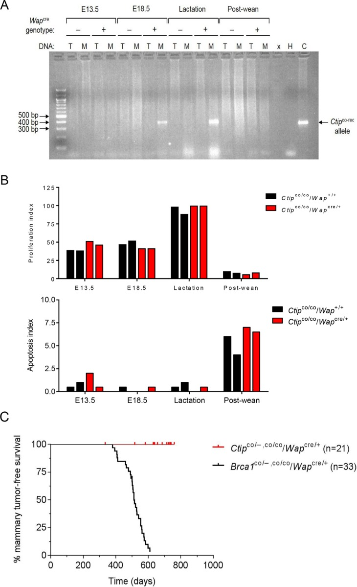 Mammary-specific Ctip inactivation does not induce breast tumors in mice ( A ) Cre-mediated Ctip co recombination in the mammary glands of pregnant and lactating female mice. Genomic DNA was prepared from pregnant (days E13.5 and E18.5), lactating (10 days postpartum), and involuted (10 days post-wean) mammary glands of control Ctip co/co / Wap +/+ females that lack the Wap cre transgene (−) and from experimental Ctip co/co / Wap cre/+ females that carry the Wap cre transgene (+). PCR analysis was performed on genomic DNA from the mammary gland (M) and tail (T) of each mouse. The 350 base pair PCR product of the Ctip co-rec allele is only observed in the mammary glands of E18.5 and lactating Ctip co/co / Wap cre/+ experimental females. Abbreviations: x (empty lane), H (water lane), and C (positive control lane). ( B ) Comparable levels of epithelial cell proliferation and <t>apoptosis</t> were observed in the mammary glands of experimental Ctip co/co / Wap cre/+ and control Ctip co/co / Wap +/+ mice by immunohistochemical staining for Ki67 and cleaved <t>caspase-3,</t> respectively. The proliferation (top bar graph) and apoptosis (bottom bar graph) indices represent the percent of Ki67- or caspase-3-positive luminal cells within the epithelial lining of tubuloalveolar structures. For each gland, a total of 200 continuous luminal epithelial cells were analyzed. The data from two mice of each genotype (experimental Ctip co/co / Wap cre/+ and control Ctip co/co / Wap +/+ ) are presented for each of the four developmental stages. Representative images are provided in Supplementary Figure S2 . ( C ) The Kaplan-Meier curves for mammary tumor-free survival of conditional Brca1 -null ( Brca1 co/− / Wap cre/+ and Brca1 co/co / Wap cre/+ ) females (black curve; n = 33; T 50 = 512 days) [ 26 ] and conditional Ctip -null ( Ctip co/− / Wap cre/+ and Ctip co/co / Wap cre/+ ) females (red curve; n = 21; P