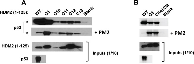 Selected HDM2 variants display in vitro PM2-resistance phenotype A. In vitro pull-down assay showing reduced inhibition by PM2 (10 μM) to binding of p53 for indicated parental HDM2 variants and WT HDM2 (residues 1-125). Note: exposure time for HDM2 inputs is 8 hours and 1 second for all other panels. B. in vitro pull-down assay showing little impact upon reversion of the M62A mutation to PM2 binding in HDM2-C8 (residues1-125). Blank indicates background p53 binding in absence of HDM2. Note: exposure time for HDM2 inputs (developed using film) is 8 hours and 10 second for all other panels (digitally acquired).