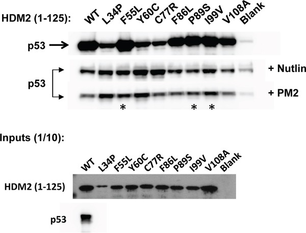 PM2 resistance comes at cost of reduced interaction with p53 In vitro pull-down assay showing reduced inhibition by PM2 (10 μM) to indicated point mutants (asterisk) derived from HDM2-C8 (residues 1-125). The point mutants L34P, F55L, Y60C and C77R also show reduced inhibition by Nutlin (10μM). Blank indicates background p53 binding in absence of HDM2. Note: exposure time for HDM2 inputs is 8 hours (developed using film) and 3 minutes for all other panels (digitally acquired).