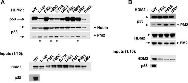 PM2 resistance is also seen when point mutants are introduced into full-length HDM2 A. In vitro pull-down assay showing reduced inhibition by PM2 (10 μM) to indicated C8-derived point mutants (asterisk) present in full-length HDM2 The point mutant F55L also shows reduced inhibition by Nutlin (10μM). Blank indicates background p53 binding in absence of HDM2. B. As in A, additionally showing levels of wild type and indicated HDM2 variants co-eluted off beads after pull-down following mock (panel 3) and PM2 treatment (panel 4). Note exposure time for p53 pull-down in absence of treatment (panel 1) is 5s and 10 minutes for pull-down after PM2 treatment (panel 2, developed using film). Exposure time for HDM2 input and HDM2 (+ indicated variants) eluted off beads after pull-down is 30 seconds (digitally acquired).