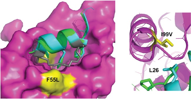 The staple moiety makes favourable contacts with F55 in the N-terminal domain of HDM2 Left: Overlay of p53 peptide (green) and MO6 stapled peptide (cyan, staple in gray) bound to HDM2 N-terminal domain (magenta, surface representation). The positions of the F55 and I99 residues are indicated in yellow. Right: Same as left, highlighting the relative orientation of the p53 peptide and MO6 stapled peptide L26 side chains in respect to I99 in HDM2.