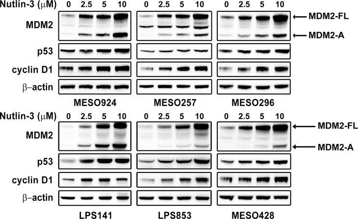 Immunoblotting evaluation of the effects of MDM2 inhibitor Nutlin-3 (2.5, 5, 10 μM) on expression of MDM2, p53, and cyclin D1 in mesothelioma (MESO924, MESO257, MESO296, and MESO428) and liposarcoma (LPS141 and LPS853) total cell lysates after 48 hours of treatment in serum-containing medium β-actin stain is a loading control.