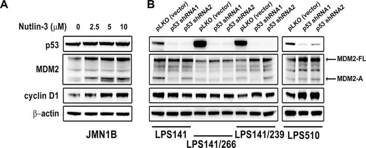 Immunoblotting evaluation of MDM2, p53, and cyclin D1 expression after treatment with Nutlin-3 (2.5, 5, 10 μM) for 48 hours in mutant p53 mesothelioma cell line (JMN1B) (A) and stable p53 knockdowns at 10 days post-infection by lentiviral TP53 shRNA constructs in liposarcoma cell lines (LPS141, LPS141/239, LPS141/266 and LPS510) (B) β-actin stain is a loading control.