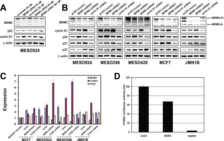 Regulation of cyclin D1 expression by MDM2 ( A ) Immunoblotting evaluation of MDM2, p53, and cyclin D1 expression at 48 hours post-transfection in a mesothelioma cell line (MESO924). ( B ) Expression of MDM2, cyclin D1, p53, p21, and p27 was evaluated by immunoblotting at 96 h post-infection with MDM2 and CCND1 shRNAs in four mesothelioma cell lines (MESO924, MESO296, MESO428, and JMN1B) and a breast cancer line (MCF-7). Actin staining is a loading control. ( C ) qRT-PCR shows upregulation of CCND1 expression in three mesothelioma cell lines (MESO924, MESO296, and JMN1B) at 96 h post-infection with MDM2 shRNA2, but not TP53 . The comparative C t (cycle threshold) method was used to determine RNA expression, which was normalized to MESO257 in triplicate assays. ( D ) MDM2 expression inhibits CCND1 promoter activity: CCND1 luciferase reporter plasmid pA3−1745CD1LUC (0.25 μg), Renilla luciferase reporter plasmid pTK-RL (0.005 μg) and MDM2 or pcDNA3 empty vector (0.25 μg) were cotransfected in 293T cells. Transfected cells were harvested at 48 h, and assessed using a Dual-Luciferase Reporter Assay System. Transfection efficiencies were normalized to the pTK-RL luciferase plasmid, and CCND1 luciferase activities were normalized to the pcDNA3 vector (100%).