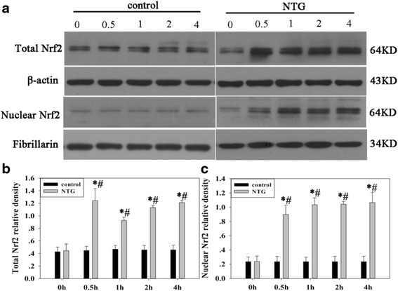 Effect of NTG injection on Nrf2 protein levels in the total and nuclear fractions of rat TNC a Representative immunoblots of TNC lysates. Total Nrf2 levels b and nuclear Nrf2 levels c were elevated as early as 0.5 h and persisted for 4 h after NTG injection. β-actin was used as a loading control for total Nrf2. Fibrillarin was used to assess the purity of the nuclear fraction. Data are presented as relative density units normalized to β-actin or Fibrillarin, and expressed as mean ± SD (* P