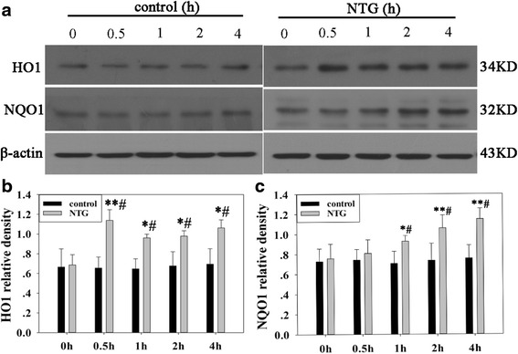 Effect of NTG injection on the levels of Nrf2 downstream proteins HO1 and NQO1 in rat TNC. a Representative immunoblots of TNC. Compared to the NS group or NTG 0 h group, HO1 levels were elevated at 0.5 h, 1 h, 2 h, and 4 h after NTG injection b and NQO1 levels were elevated at 1 h, 2 h, and 4 h after NTG injection c . β-actin was used as the loading control. Data are presented as relative density units normalized to β-actin, and expressed as mean ± SD. (* P