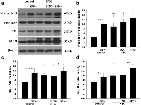 Effect of sulforaphane (SFN) on the levels of Nrf2 and downstream proteins HO1 and NQO1 in rat TNC 4 h after NTG injection. a Representative immunoblots of TNC. Nuclear Nrf2 b , HO1 c and NQO1 d levels were significantly increased in the SFN plus NTG group compared to those in the H 2 O plus NTG group. Moreover, these protein expressions were increased in the SFN plus control group compared to those in the control group b , c , d . Data are presented as the mean ± SD. (* P