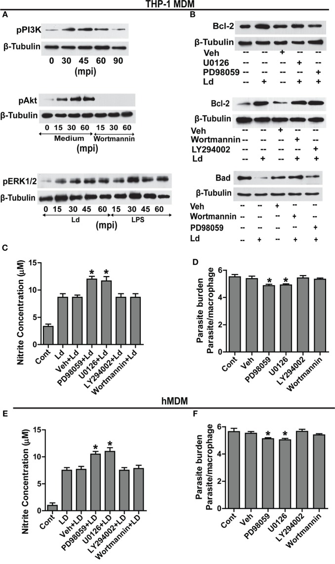 MEK-MAPK/ERK but not PI3K-Akt activation regulates Bcl-2 increase in THP-1 MDM . (A) Representative Western blots for pPI3K, pAkt, and pERK upon infection with L. donovani . PI3K is phosphorylated during early infection within 30–60 min. Note pretreatment with wortmannin, which is an inhibitor of PI3K phosphorylation, completely abrogates Akt phosphorylation. mpi, minutes post infection. (B) Blots showing effect of PI3K and ERK inhibitors on Bcl-2 induction during infection. The first blot shows significant decrease of infection-induced Bcl-2 on inhibition of ERK phosphorylation with U0126 and PD98059 (MEK1/2 inhibitors). The second blot in the figure shows no significant difference in the expression of Bcl-2 protein in the presence of PI3K inhibitors, wortmannin and LY294002 at 12 h postinfection. The third blot shows stabilization of the Bad protein in the presence of PI3K inhibitors showing PI3K mediated degradation of Bad protein during infection. Ld, Leishmania donovani ; Veh, vehicle (DMSO). The blots in this figure are representative of three independent experiments. (C) Nitrite concentration measurements 12 h post infection in the presence of ERK or PI3K inhibitors. (D) Parasite burden in the presence of ERK or PI3K inhibitors. Note reduced parasite burden in the presence of ERK inhibitors. (E,F) show nitrite measurements and parasite burden respectively for hMDMs in the presence of ERK/PI3K inhibitors. A minimum of 200 cells was counted for estimating parasite burden. Data are mean ± SEM ( n = 3); * P ≤ 0.05; Mann–Whitney test.