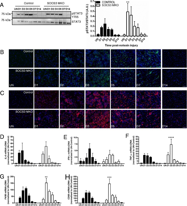 Loss of SOCS3 in mature myofibers in vivo enhances the inflammatory response after myotoxic injury. Control (SOCS3 fl/fl MCK-Cre − ) and SOCS3 MKO (SOCS3 fl/fl MCK-Cre + ) mice were either left uninjured (UN) or received a single 40 μL injection of notexin (10 μg/ml) into the right TA muscle and then killed for analysis at 1 day (D1), 2 days (D2), 3 days (D3), 5 days (D5), 7 days (D7), or 14 days (D14) post-notexin injury. a Western immunoblotting for phosphorylated and total STAT3 protein levels was performed on protein extracted from remaining OCT embedded muscles following tissue sectioning. Representative immunoblots for phosphorylated ( top ) and total ( bottom ) STAT3 protein levels are shown. Band intensity was quantified using ImageQuant software (Bio-Rad Laboratories) and the ratio of phosphorylated/total STAT3 protein levels was determined. b Representative sections immunostained with F4/80 ( green ) and DAPI ( blue ) of the TA muscle from uninjured or day 1, 2, 3, 5, 7, or 14 injured control and SOCS3 MKO mice. c Representative sections immunostained with <t>CD68</t> ( red ) and DAPI ( blue ) of the TA muscle from uninjured or day 1, 2, 3, 5, 7, or 14 injured control and SOCS3 MKO mice. qRT-PCR using primers to detect IL-6 ( d ), IFN-γ ( e ), TNF-α ( f ), F4/80 ( g ), and CD68 ( h ) was performed on RNA extracted from snap frozen muscles following dissection. Data are expressed as mean ± SEM. Statistical analysis was performed using a two-way ANOVA with a Fisher's LSD post hoc multiple comparisons test to determine the effects of genotype and time. n = 8 mice/time-point/genotype. ** P