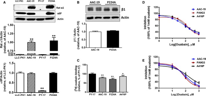 Expression of Na/K‐ATPase in P224A mutation. A and B, P224A mutant cells express mutated rat α1 and β1 subunits. Expression of the rat α1 Na/K‐ATPase was determined with polyclonal rat α1‐specific antibody (anti‐NASE) (n=4) and the total α1 was determined with monoclonal anti‐α1 antibody (clone α6F) (n=3). Expression of endogenous pig β1 subunit (glycosylated) was determined with monoclonal anti‐β1 antibody (clone C464.8) (n=4) and the blots were optimized to show possible difference. A representative Western blot and quantitative analysis were shown. Quantitative analysis (bar graph) showed the relative expression of α1 and β1 subunits to control wild‐type AAC‐19 (for rat α1 and β1), and LLC‐PK1 (for total α1) cells. ** P