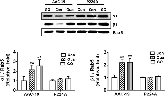 P224A mutation prevents ouabain‐induced Na/K‐ATPase endocytosis. P224A mutation prevents ouabain (10 μmol/L, 1 hour)‐stimulated accumulation of α1 and β1 subunit in early endosome fractions. A representative Western blot and quantitative analysis were shown. n=4, ** P