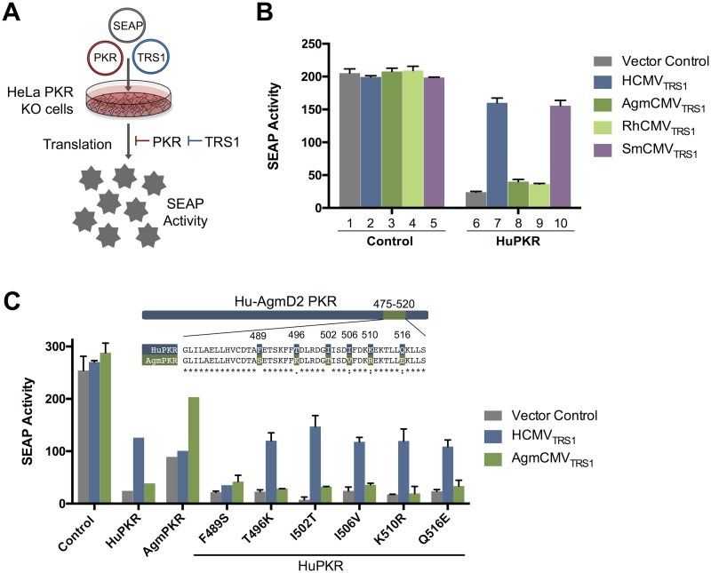 Species-specific differences in primate CMV TRS1 PKR antagonism map to a single amino acid. (A) Schematic representation of the SEAP assay. Transfection of PKR leads to decreased activity of a co-transfected reporter construct expressing SEAP. This PKR-driven repression can be counteracted by co-transfection of a functional TRS1 antagonist, resulting in a rescue of SEAP activity. (B) The SEAP assay recapitulates species-specific differences in HuPKR antagonism by TRS1 alleles. HeLa PKR KO cells were co-transfected with a SEAP reporter plasmid along with either a control vector or HuPKR and the indicated TRS1 alleles or a vector control. At 48 h post-transfection, SEAP activity in the medium was measured (mean ± s.d., n = 2). Data are representative of three independent experiments. (C) A single amino acid change, F489S, confers resistance to HCMV TRS1 . Point mutants were generated in HuPKR to introduce the six AgmPKR-specific residues that differ between HuPKR and AgmPKR within the region spanning codons 475 to 520, shown in the alignment. The ability of the point mutants to antagonize HuPKR was evaluated as described in (B) (mean ± s.d., n = 2). Data are representative of three independent experiments.