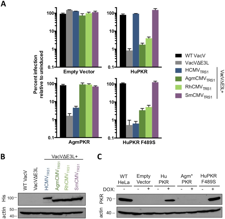 HuPKR F489S confers resistance in the context of viral replication. (A) Triplicate wells of HeLa PKR KO cells inducibly expressing the indicated PKR variants were treated +/- doxycycline and infected (MOI 0.1) with a panel of VacVs. At 48 hpi, viral replication was quantified by measuring β-gal activity and is reported as percent replication in doxycycline treated cells relative to replication in the same cells without induction of PKR expression (mean ± s.d., n = 3). Data are representative of three independent experiments. (B) His-tagged TRS1 constructs were detected in lysates of the infected empty vector cells from (A) by western blotting. TRS1 size variation is expected based on differences in coding length. (C) PKR expression in lysates of mock-infected cells from (A) was evaluated by western blotting. *AgmPKR does not cross react with the antibody used.