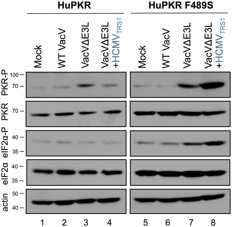 The PKR pathway is activated in HuPKR F489S cells after infection with VacVΔE3L+HCMV TRS1 . HeLa PKR KO cells with stably integrated HuPKR or HuPKR F489S were induced with doxycycline to express PKR and 24 hours later mock-infected or infected at an MOI of 3 with the indicated viruses. At 6 hpi, cells were lysed and levels of PKR-P, total PKR, eIF2α-P, total eIF2α and actin were evaluated by western blotting.
