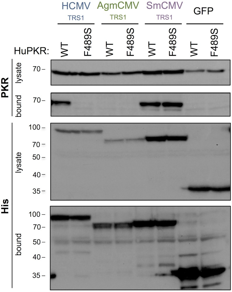 The F489S mutation eliminates HCMV TRS1 binding to PKR. HeLa PKR KO cells were co-transfected with WT HuPKR or HuPKR F489S and either His-tagged HCMV TRS1 , AgmCMV TRS1 , SmCMV TRS1 or EGFP. At 48h post transfection, lysates were prepared and incubated with nickel-agarose beads. Cell lysates and bound proteins were analyzed by western blotting, probing for His-tagged TRS1 proteins and for PKR. Data are representative of three independent experiments.