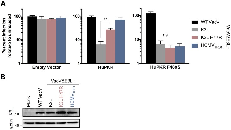 HuPKR F489S confers resistance to VacV K3L H47R. HeLa PKR KO cells inducibly expressing the indicated PKR variants were infected and evaluated as described in Fig 3A . (mean ± s.d., n = 3, ** p