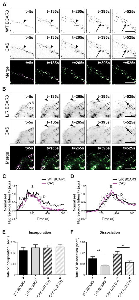 Direct interaction between BCAR3 and Cas is required for efficient dissociation of BCAR3 from adhesions BT549 breast cancer cells were co-transfected with plasmids encoding WT or L744E /R748E (L/R) GFP-BCAR3 and mCherry-Cas, incubated for 24 hours, and then plated on 2μg/ml fibronectin-coated glass-bottomed TIRF dishes for 30–40 minutes prior to visualizing adhesion dynamics via live-imaging TIRF microscopy. (A, B) Representative time-lapse images show incorporation into adhesions (arrowheads) and dissociation (arrows) of the indicated proteins over the specified time course. Scale bars = 100μm. (C, D) Representative fluorescence intensity time tracings of BCAR3 (black) and Cas (magenta) present in adhesions from cells expressing WT (C) or L744ER748E (D) GFP-BCAR3. Dashed boxes/line indicate the incorporation (I), stability (S), and dissociation (D) phases of adhesion dynamics. (E, F) Quantitative analysis of the incorporation (E) and dissociation (F) rates of WT GFP-BCAR3 (bar 1), L744E/R748E (L/R) GFP-BCAR3 (bar 2), Cas co-expressed with WT GFP-BCAR3 (bar 3), and Cas co-expressed with L744E/R748E (L/R) GFP-BCAR3 (bar 4). Data presented are the mean ± SEM of 35 adhesions from 3 WT and L744E/R748E GFP-BCAR3 expressing cells from 3 independent experiments. *, p