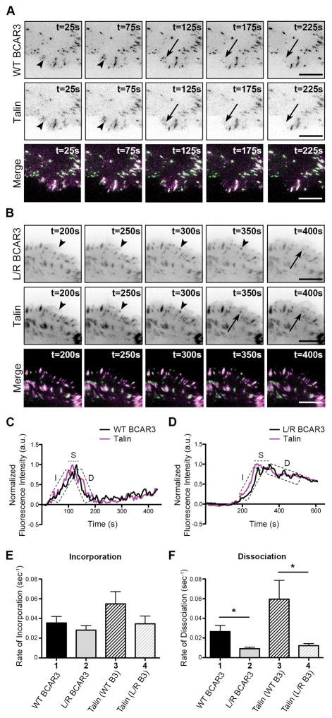 Direct interaction between BCAR3 and Cas is required for efficient dissociation of talin from adhesions BT549 invasive breast cancer cells were co-transfected with plasmids encoding WT or L744E/R748E (L/R) GFP-BCAR3 and mCherry-talin, incubated for 24 hours, and then plated on 2μg/ml fibronectin-coated glass-bottomed TIRF dishes for 30–40 minutes prior to visualizing adhesion dynamics via live-imaging TIRF. (A, B) Representative time-lapse images show incorporation into adhesions (arrowheads) and dissociation (arrows) of the indicated proteins over the specified time course. Scale bars = 100μm. (C, D) Representative fluorescence intensity time tracings of BCAR3 (black) and talin (magenta) present in adhesions from cells expressing WT (C) or L744E/R748E (L/R) GFP-BCAR3 (D). Dashed boxes/line indicate the incorporation (I), stability (S), and dissociation (D) phases of adhesion dynamics. (E, F) Quantitative analysis of the incorporation (E) and dissociation (F) rates of WT GFP-BCAR3 (bar 1), L744E/R748E (L/R) GFP-BCAR3 (bar 2), Talin co-expressed with WT GFP-BCAR3 (bar 3), and Talin co-expressed with L744E/R748E (L/R) GFP-BCAR3 (bar 4). Data presented are the mean ± SEM of ≥14 adhesions from 5 separate WT BCAR3/talin or 3 separate L744E/R748E BCAR3/talin movies generated from 3 independent experiments. *, p