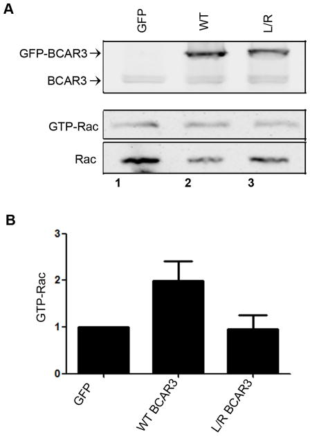BCAR3/Cas interactions are required for BCAR3 dependent Rac activity BT549 cells were transfected with plasmids encoding GFP, GFP-WT BCAR3, or GFP-L744E/R748E BCAR3 and incubated for 24 hours. Cells were held in suspension for 90 minutes, then plated on 10μg/ml fibronectin for 1 hour. (A) GTP-bound Rac1 was isolated from whole cell lysates by incubation with PAK-1-binding domain agarose. Bound proteins (middle panel) and total Rac1 (bottom panel) were detected by immunoblotting with a Rac1 antibody, and BCAR3 expression was confirmed with a BCAR3-specific antibody (top panel). (B) Quantification of the relative GTP-Rac1 level is shown. Data presented are the mean ± SEM of 3 independent experiments.