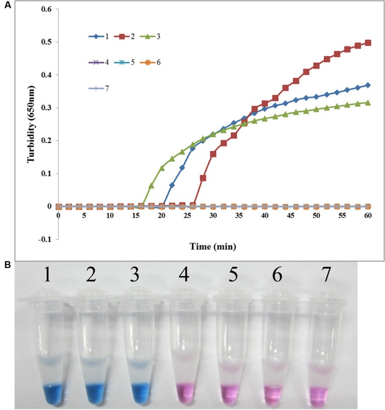 Specificity of the LAMP reaction for detecting sul2 in S. maltophilia. (A) Turbidity was monitored every 6 s using a Loopamp Realtime Turbidimeter with detection at 650 nm. The reaction was performed at 65°C. (B) The results were visualized by adding HNB to the reaction mixture before the reaction. (1) X133 (positive control for sul2 from Peking Union Medical College Hospital); (2) P57 (positive control for sul2 from Chinese PLA General Hospital); (3) K14 (positive control for sul2 from Chinese PLA General Hospital); (4) S. maltophilia K279a; (5) S. maltophilia ATCC 13637; (6) P129 (negative control for sul from Chinese PLA General Hospital, confirmed by genome sequencing); (7) double-distilled water.
