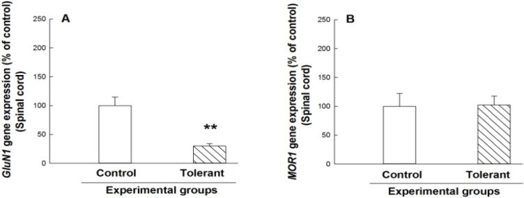 Relative gene expression of the GluN1 (panel A) and the MOR1 (panel B) in the lumbosacral cord in control and tolerant groups. Each bar represents mean ± SEM of quantified data related to the expression of the respective genes in each group. ** P