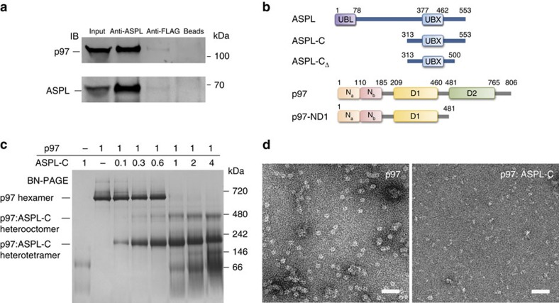 ASPL-C converts p97 hexamers into stable p97:ASPL-C heterooligomers. ( a ) <t>Co-immunoprecipitation</t> of a p97:ASPL protein complex from human brain homogenate using an anti-ASPL antibody. Anti-FLAG antibody and beads alone were used as negative controls. ( b ) Schematic representation of fragments and full-length ASPL and p97. Conserved protein domains are depicted: ubiquitin-like domain (UBL); ubiquitin regulatory-X domain (UBX); N-terminal protein binding domains (N a and N b ); ATPase domains (D1 and D2). ( c ) Blue-native gel stained with Coomassie Brilliant Blue, demonstrating the remodelling of p97 hexamers by ASPL-C in a concentration-dependent manner. p97 (10 μg) and ASPL-C (0.3, 0.6, 1.8, 3, 6 and 12 μg) were briefly mixed and incubated on ice for 5 min; then protein complexes were analysed by BN-PAGE. A 1:1 molar ratio of p97 monomers and ASPL-C was sufficient to promote the formation of p97:ASPL-C heterooligomers. ( d ) Negatively stained electron micrographs of purified p97 in the presence and absence of ASPL-C; scale bar 50 nm.