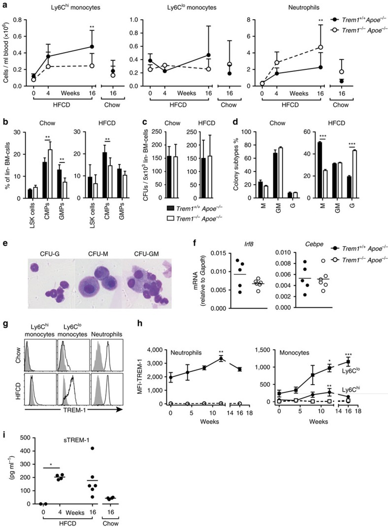 TREM-1 drives skewed monocyte differentiation and HFCD-dependent monocytosis. ( a ) Absolute numbers of peripheral blood myeloid cell subsets before HFCD feeding (week 0; n =4), after 4 weeks of HFCD-feeding ( n =4–5), after 16 weeks of HFCD-feeding ( n =13–15) and after 16 weeks of chow-feeding ( n =9–13) as determined by flow cytometry. Circles represent mean values+s.d. for each group. Data are pooled from three independent experiments for the 16-week time-point and from one experiment for the 0 and 4 week analyses. ( b ) Relative frequencies of LSK cells (Sca1 + cKit hi ), CMP (Sca1 − cKit hi FcgR lo CD34 + ) and GMP (Sca1 − cKit hi FcgR + CD34 + ) cells among lineage − (lin − ; Ter119 − , CD3e − , Gr1 − and B220 − ) and CD127 − BM cells isolated from 16-week-HFCD-fed or chow-fed mice. Bars show mean values+s.d. of n =6-9 HFCD-fed mice (two independent experiments) and n =4–5 chow-fed controls. ( c ) Myeloid colony-forming units per well of 5 × 10 3 plated lin − BM cells and ( d ) relative frequencies of colony subtypes (M: monocyte colonies; G: granulocyte colonies; GM: mixed monocyte/granulocyte colonies). Data show mean values+s.d. of n =6–9 HFCD-fed mice (from two independent experiments) and from n =4–5 chow-fed mice per group. ( e ) Representative examples of CFU-G, CFU-M and CFU-GM. ( f ) mRNA expression of Irf8 and Cebpe in GMP isolated from 16-week-HFCD-fed mice. ( g ) Representative histograms for TREM-1 surface expression (lines) versus isotype control staining (filled) on peripheral blood neutrophils, Ly6C hi and Ly6C lo monocytes from Trem1 +/+ Apoe −/− mice 16 weeks post chow or HFCD feeding. ( h ) Median fluorescence intensity (MFI) of TREM-1 surface expression (with subtracted MFI values of matched isotype control-stained cells) on peripheral blood myeloid cell subsets at the indicated time points post HFCD feeding in Trem1 +/+ Apoe −/− (black symbols) and Trem1 −/− Apoe −/− (open symbols) mice. Symbols indicate mean+s.d. of n =5 mice and data ar