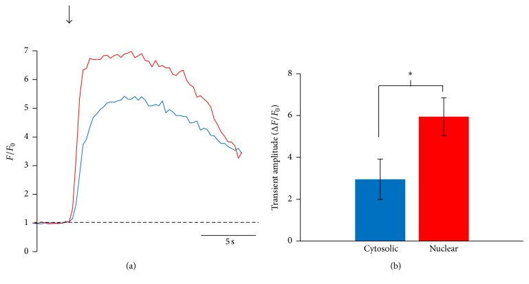 Nuclear Ca 2+ increases more than cytosolic Ca 2+ in response to electrical stimulation. Fluo-4/AM-loaded hcCPCs were stimulated at 0.5 Hz and the amplitudes of the nuclear and cytosolic Ca 2+ oscillations were analyzed. Representative traces of nuclear (red) and cytosolic (blue) Ca 2+ oscillations are shown in (a), and amplitudes are summarized in (b). Data represent mean ± SD. ∗ p