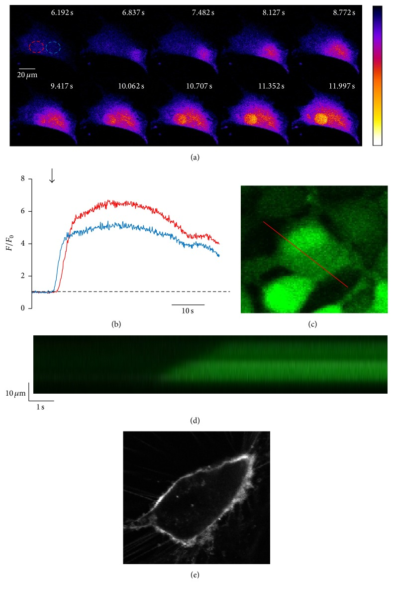 Ca 2+ oscillations in electrically stimulated CPCs show spatial heterogeneity and propagate in a wave-like fashion. ((a) and (b)) Representative 2D high-speed confocal image montage of the activation of a Ca 2+ oscillation in a CPC loaded with fluo-4/AM. ROIs (red: nuclear, blue: cytosolic) indicated in (a) are graphed in (b). ((c) and (d)) Measured from the red line shown in (c), the confocal line scan in (d) shows that initiation of Ca 2+ release at one edge of the cell propagates through the cell to the other side. (e) Representative image of a CPC stained with Di-8-ANEPPS.