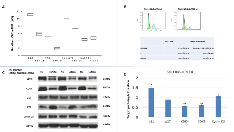 Expression of LCN2 mRNA in 8 kinds of CCA cells and LCN2 effect on SNU308 cell cycle distribution. ( A ) LCN2 mRNA expressions were measured in 8 kinds of CCA cells with RBE and SNU308 cells had the lowest and highest LCN2 mRNA expressions, respectively. ( B ) Histogram of cell cycle distribution (upper panel) and quantitative result of cell cycle distribution (lower panel) of SNU308-COLsi and SNU308-LCN2si cells. ( C ) Western blots showing CDK4, CDK6, cyclin D3, p21, and p27 expression in SNU308-COLsi and SNU308-LCN2si cells. Experiments were done in triplicate and repeated at least three times. ( D ) Quantitative result of the western blot. Each value was a mean ± SD of three independent determinations. Data was presented as the intensity of protein bands of the target genes/β-actin relative to the control. Experiment was done at least three times (*P