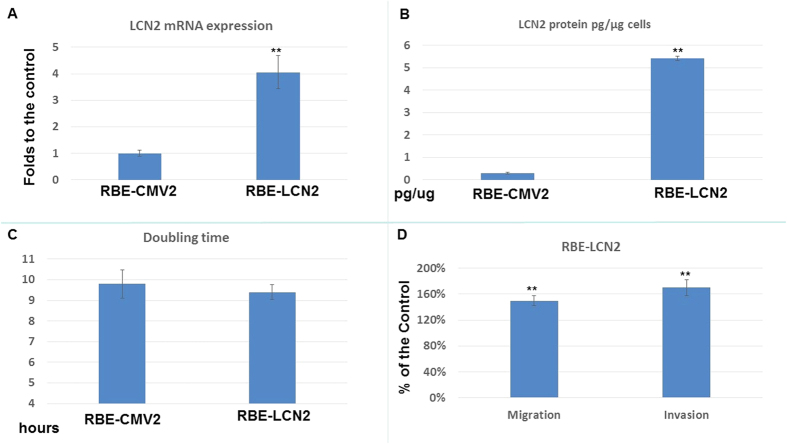 The effect of <t>LCN2</t> overexpression in RBE cell proliferation and metastasis. ( A ) LCN2 mRNA expression in RBE-CMV2 and RBE-LCN2 cells. Each value was a mean ± SD of three independent determinations. Experiment was done at least three times (**P